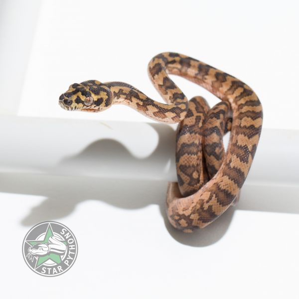 2017 Caramel double het Albino Granite female