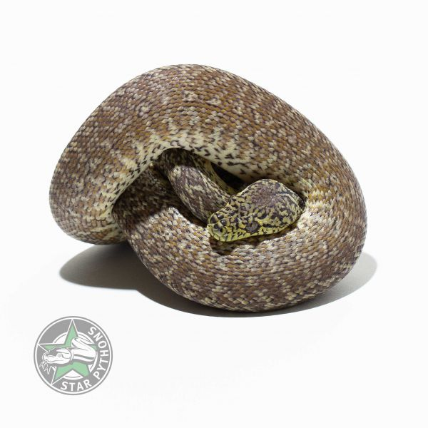 2017 Granite 100% het Albino male